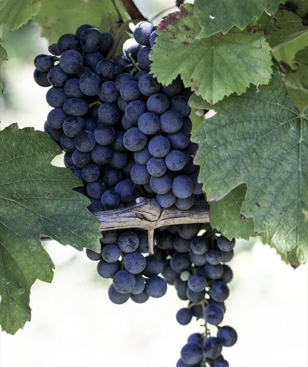 lambrusco spumanti vini